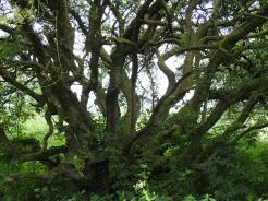 Fairy Tree at Caldragh Cemetary, Boa Island Northern Ireland