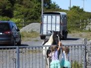 Inishmore Pony.
