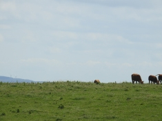 These cows have a million dollar view, EVERY SINGLE DAY, and dont even know it!