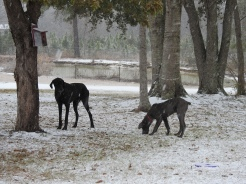 Great Danes seeing snow for the First Time.